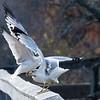 ring billed gulls