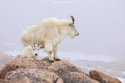 Mountain Goats I