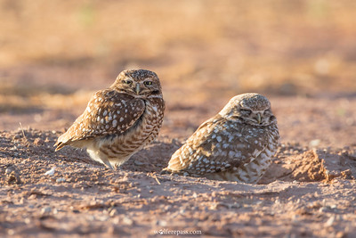 Burrowing Owls, Arizona, USA