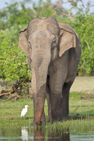 Sri Lankan Elephant (Endangered)
