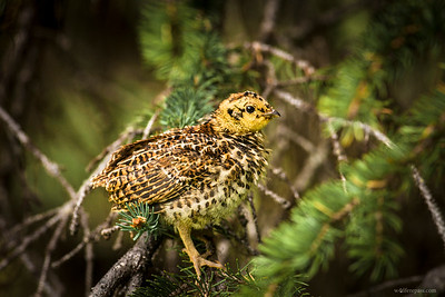 Spruce Grouse (Chick)