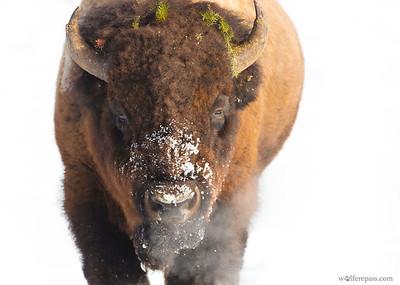 Bison in Snow I