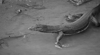 Malayan Water-monitor Lizard