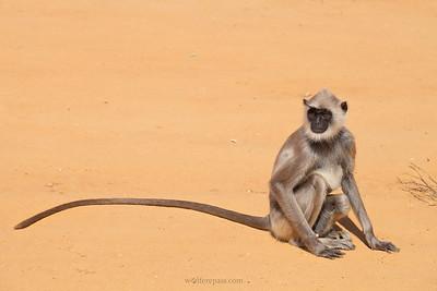 """Hanuman Langur (aka """"Gray"""" Langur)"""