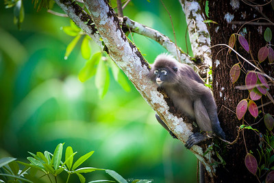 Dusky Leaf-Monkey (IUCN Near Threatened)