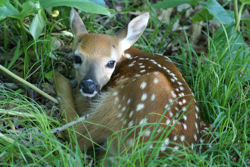 White tail deer fawn.