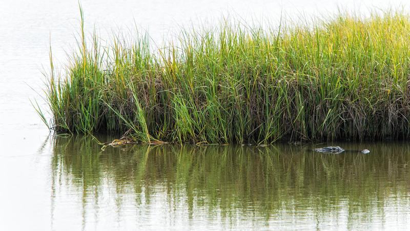 Kiawah scene - alligator in the marsh.