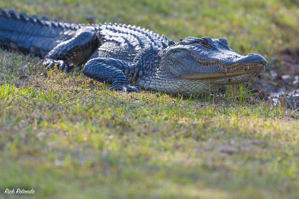 Alligators - Charleston SC - 3-28-18