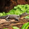 Alligator<br /> St. John's River<br /> Orange City, Florida<br /> 124-1386a
