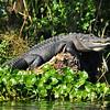 Alligator<br /> Blue Spring State Park<br /> Orange City, Florida<br /> 095-4444b