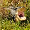 Alligator<br /> Viera Wetlands, Florida<br /> 181-4281a