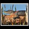 Alligator<br /> Viera Wetlands<br /> Melbourne, Florida<br /> 087-2995c