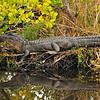 Alligator<br /> Merritt Island, Florida<br /> 183-0584a