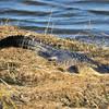 Alligator<br /> Viera Wetlands, Florida<br /> 172-7834a