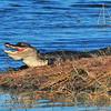 Alligator<br /> Viera Wetlands, Florida<br /> 175-8291a