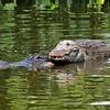 Alligator Pair<br /> Kissimmee, Florida