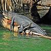 Alligator<br /> Blue Springs<br /> Orange City, Florida<br /> 009-5143b