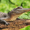 Alligator<br /> St. John's River<br /> Orange City, Florida<br /> 124-1376a
