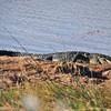 Alligator<br /> Viera Wetlands, Florida<br /> 173-7947a