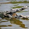 Alligator<br /> Kissimmee, Florida