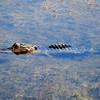 Alligator<br /> Viera Wetlands, Florida<br /> 148-1852a