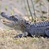 Alligator<br /> Viera Wetlands, Florida<br /> 014-6014a