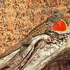 Lizard<br /> Merritt Island, Florida<br /> 061-0126a