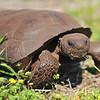 Gopher Tortoise<br /> Melbourne, Florida