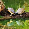 Turtles on a Log<br /> Blue Spring State Park<br /> Orange City, Florida<br /> 095-4235a