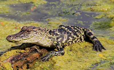 This little gator was about 3 ft long and still had his baby camouflage coloring on his body. He was quite pretty compared to the transition they make into the adulthood coloring.