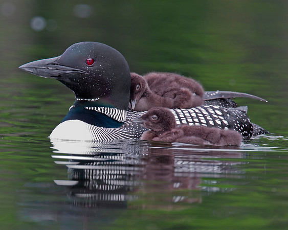 This photograph of a female loon and her two chicks was captured on a pond in New Hampshire (7/11).  This photograph is protected by the U.S. Copyright Laws and shall not to be downloaded or reproduced by any means without the formal written permission of Ken Conger Photography.