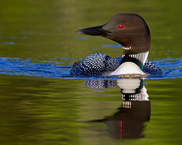 This photograph of a loon was captured on a pond in New Hampshire (7/11).  This photograph is protected by the U.S. Copyright Laws and shall not to be downloaded or reproduced by any means without the formal written permission of Ken Conger Photography.