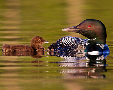 This photograph of a loon and her chick was captured on a pond in New Hampshire (7/11).  This photograph is protected by the U.S. Copyright Laws and shall not to be downloaded or reproduced by any means without the formal written permission of Ken Conger Photography.