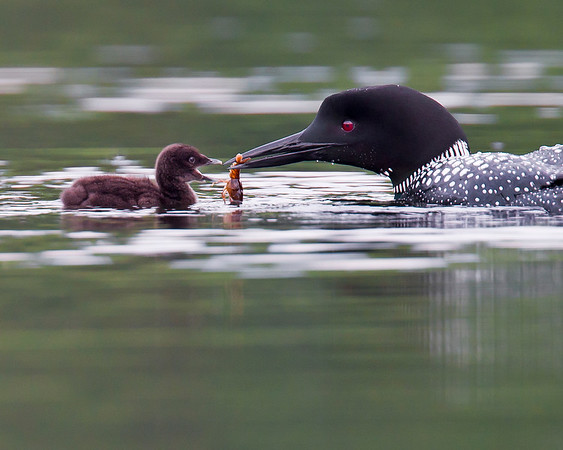 This photograph of a loon feeding her chick a crawfish was captured on a pond in New Hampshire (7/11).  This photograph is protected by the U.S. Copyright Laws and shall not to be downloaded or reproduced by any means without the formal written permission of Ken Conger Photography.