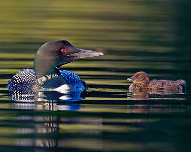 This photograph of a female loon and her chick was captured on a pond in New Hampshire (7/11).  This photograph is protected by the U.S. Copyright Laws and shall not to be downloaded or reproduced by any means without the formal written permission of Ken Conger Photography.