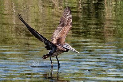Brown Pelican Taking Flight