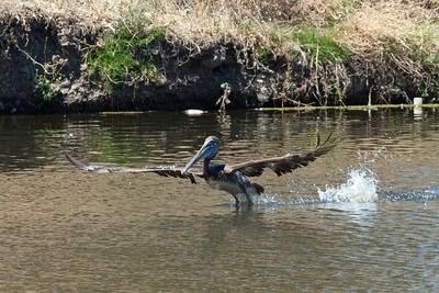 Almaden Lake Park Birds Aug 2011