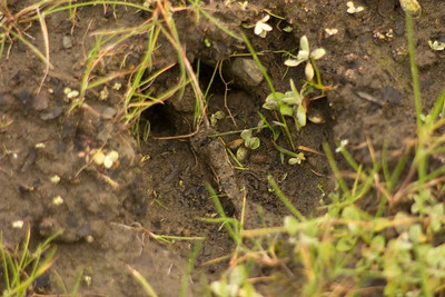Deer's footprint in the mud.