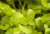 Happy Valentine's Day! (Miner's lettuce.)