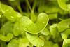Happy Valentine's Day! (Miner's lettuce.)