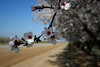 Almond Orchard 058 2