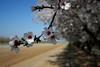 Almond Orchard 058 2
