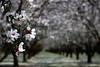 Almond Orchard 077 2