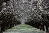 Almond Orchard 3 5 08 090 2