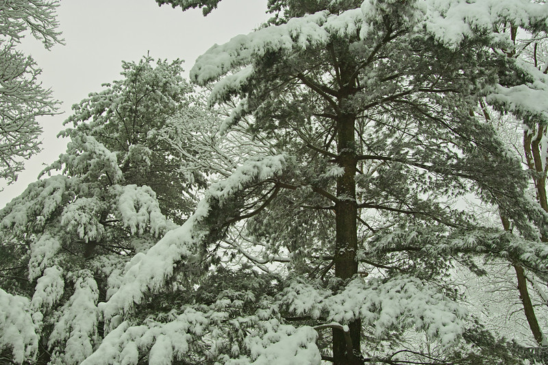 Two White Pine trees. the one in the background fell during the February 2010 snowstorm.