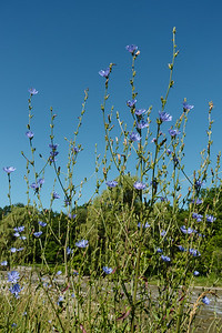 Chicory And Blue Sky