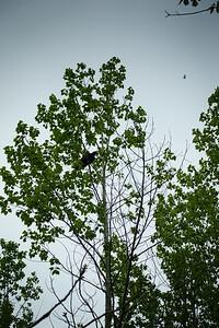 Treed Vulture