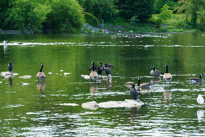 Geese and Cormorants