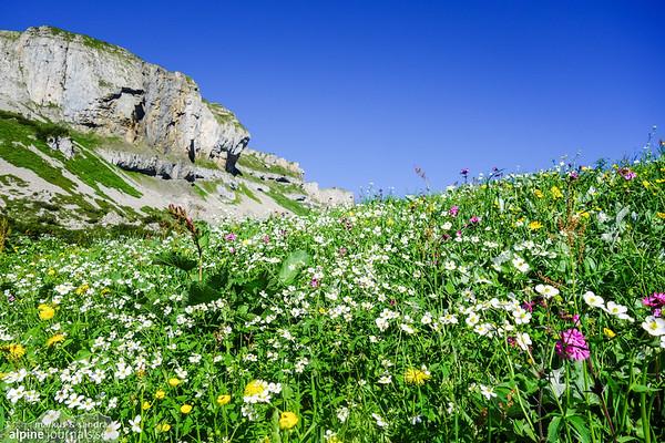 Flower meadow by Hohe Ifen