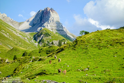 Cows grazing at Laguzalpe with Rothorn in the background